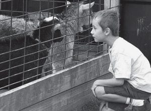 Zachary Gill, 7, Lima, gets a close look at a Sauder Village goat. Gill visited the village Saturday, May 17. He saw many antique cars on display but said he liked the animals better. - photo by David Pugh