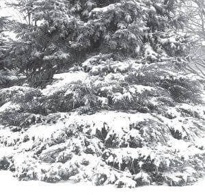 In the midst of stomping through slushy sidewalks, having to take extra time to bundle up before going outside, and putting up with the biting cold, one finds a scene like this. Is there anything more beautiful in winter than snow on evergreens? The Archbold Wastewater Treatment Plant has recorded about three inches of snow for the month of December.–photo by David Pugh