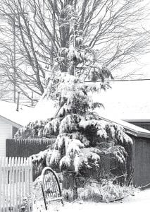 A heavy, wet snow blankets an evergreen tree along Ditto Street in Archbold, Sunday, Dec. 12. The bucolic scene showcased the magnificent splendor of the season.–photo by Mary Huber