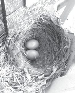 The two robin eggs, top, and the hatched birds waiting for a meal, below.– courtesy photo