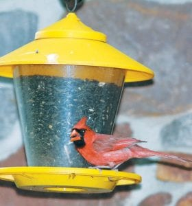 A male cardinal enjoys a tasty dinner of sunflower seeds at an Archbold home.– photo by Mary Huber