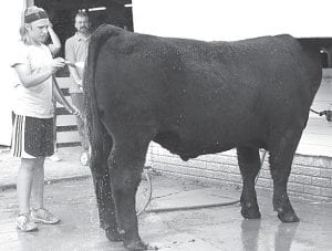 Brandi Schnitkey, a Pettisville seventh grader and member of the Pettisville Ever-Ready 4-H club, washes her crossbred steer.– photo by Mary Huber