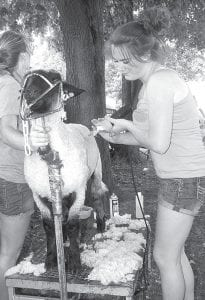 With a clippers and a steady hand, Kelsey Weirauch, Pettisville, trims a lamb in preparation for the show ring.– photo by David Pugh